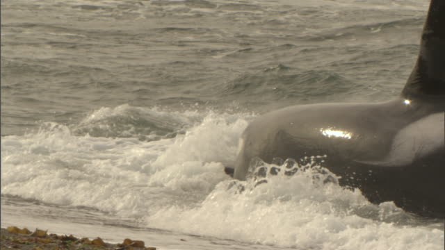 an orca attacks a seal on the beach. - provinz chubut stock-videos und b-roll-filmmaterial