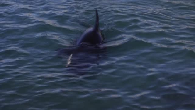 an orca calf that was beached and separated from its mother is cared for by conservationists as the search begins for the baby's mothe - whale stock videos & royalty-free footage