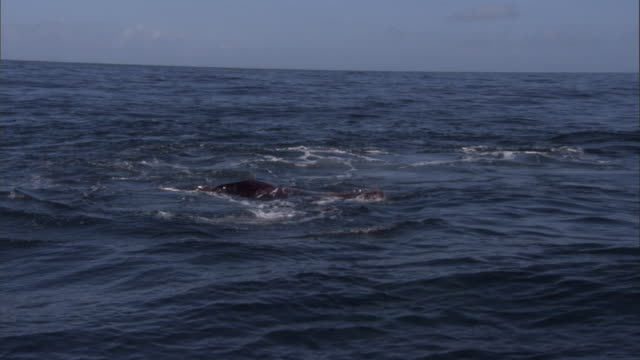 an orca leaps past a wounded steller's sea lion. available in hd. - アシカ点の映像素材/bロール