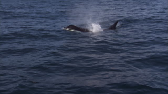 an orca surfaces and dives. available in hd. - surfacing stock videos & royalty-free footage