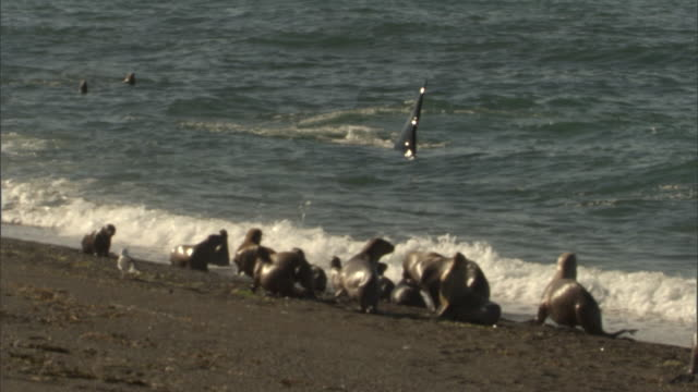 an orca swims near a group of seals on a beach. - provinz chubut stock-videos und b-roll-filmmaterial