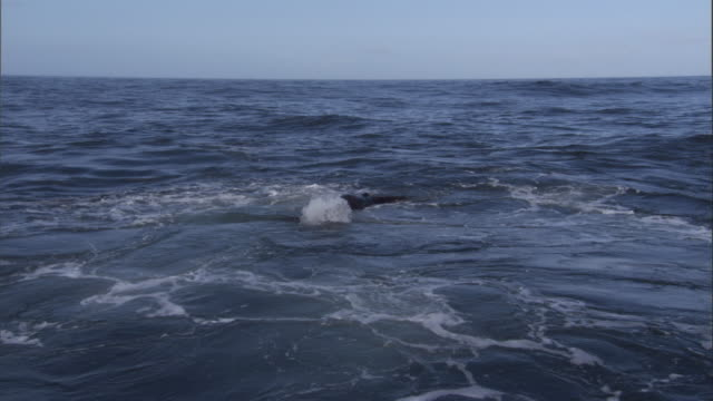 An Orca swims past a wounded Steller's sea lion. Available in HD.