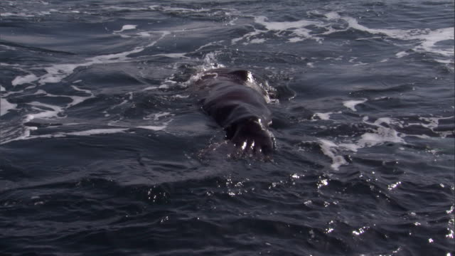 an orca whale grabs a wounded steller's sea lion. available in hd. - killer whale stock videos and b-roll footage