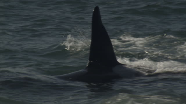 an orca's dorsal fin is visible above the water's surface. - dorsal fin stock videos & royalty-free footage