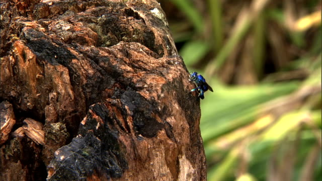 an orchard bee lands on a tree stump repeatedly. - ceppaia video stock e b–roll