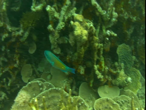 An ornate wrasse swims in and out of antler corals.