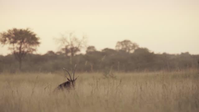 an oryx single setting sun - africa - herbivorous stock videos & royalty-free footage