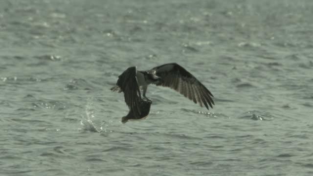 an osprey captures a fish and flies above an estuary. - ミサゴ点の映像素材/bロール