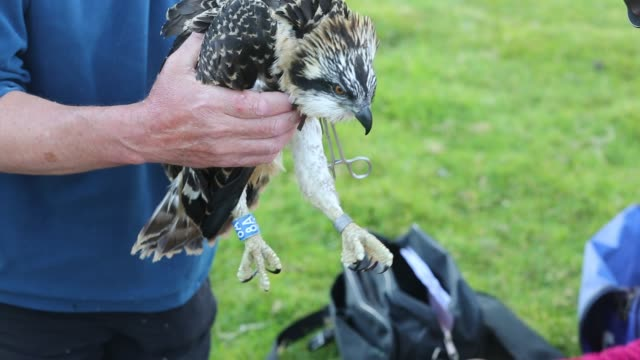 an osprey chick that was removed from the nest, is ringed and fitted with satelite radio trackers so it's migration pattern can be studied.... - bird of prey stock videos & royalty-free footage