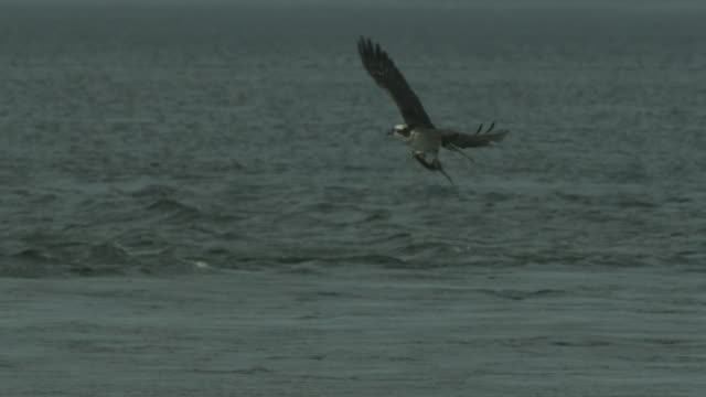 an osprey flies above an estuary with a fish in its talons. - ミサゴ点の映像素材/bロール