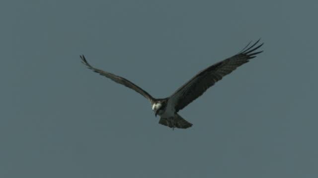 an osprey flies across an overcast sky. - gliedmaßen körperteile stock-videos und b-roll-filmmaterial