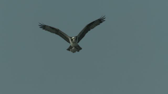an osprey flies across an overcast sky with a fish in its talons. - ミサゴ点の映像素材/bロール