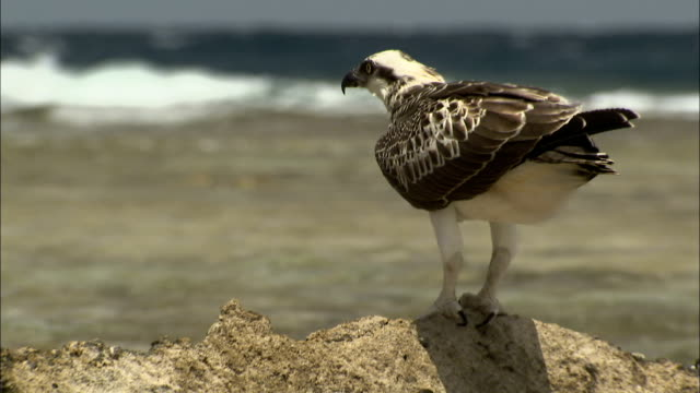 an osprey perches on a small rock in the shallows of the red sea.\n available in hd. - osprey stock videos & royalty-free footage