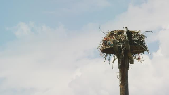オスプレイは、部分的に曇りの日に大きな棒とブランブルで作られた巣の隣の背の高い木製のポールの上に座っています - ミサゴ点の映像素材/bロール
