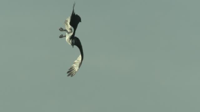 an osprey soars across an overcast sky then dives into an estuary. - ミサゴ点の映像素材/bロール