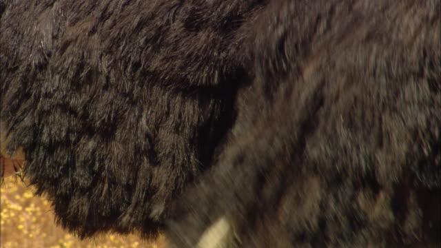 an ostrich flaps its vestigial wing. - gliedmaßen körperteile stock-videos und b-roll-filmmaterial