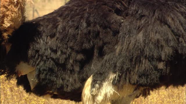 an ostrich flaps its wings as it stands in the veldt. - tierflügel stock-videos und b-roll-filmmaterial