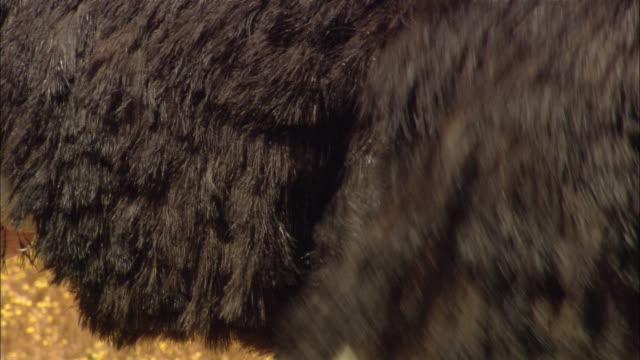 an ostrich flaps its wings. - tierflügel stock-videos und b-roll-filmmaterial