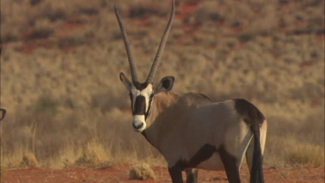 vidéos et rushes de an ostrich grazes nearby an antelope in the desert. - oiseau qui ne vole pas