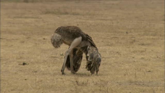 an ostrich grazes on dry grasses. - grasen stock-videos und b-roll-filmmaterial