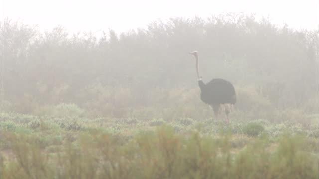 vidéos et rushes de an ostrich stands still on a misty plain. - oiseau qui ne vole pas