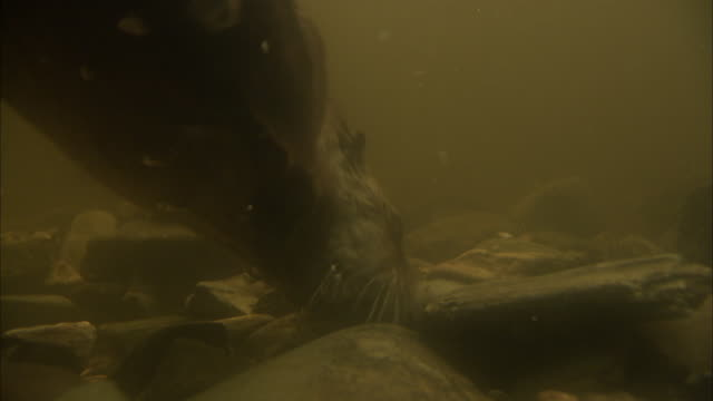 an otter forages in the rocks at the bottom of a tank and then swims upward. - カワウソ点の映像素材/bロール