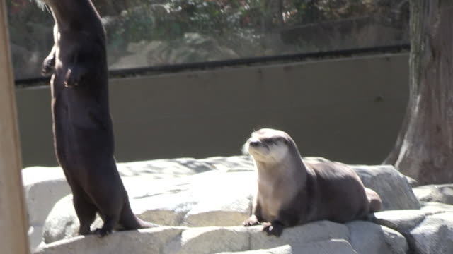 an otter stands on its hind feet and looks around while another otter rests on rocks nearby. - otter stock videos & royalty-free footage