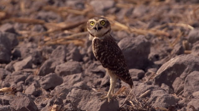 An owllike creature stands on rocky ground in savannah of the Cerrado Brazil which is under threat from land grabs
