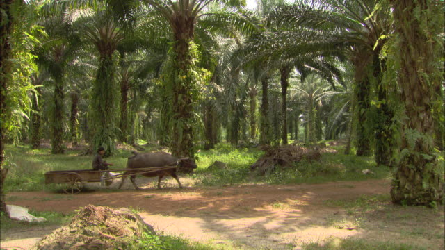 vídeos y material grabado en eventos de stock de an oxen pulls a cart during palm fruit harvest. - animales de trabajo