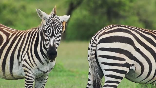 an oxpecker bird jumping on zebras looking straight at the camera in kenya - close up - protection stock videos & royalty-free footage