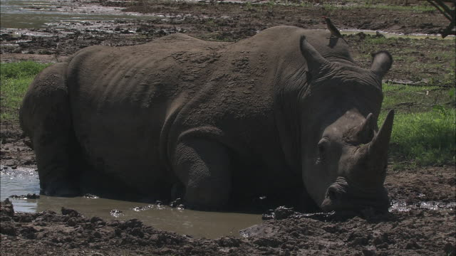 an oxpecker perches on the back of a rhinoceros who rests in a mud puddle. - symbiotic relationship stock videos & royalty-free footage