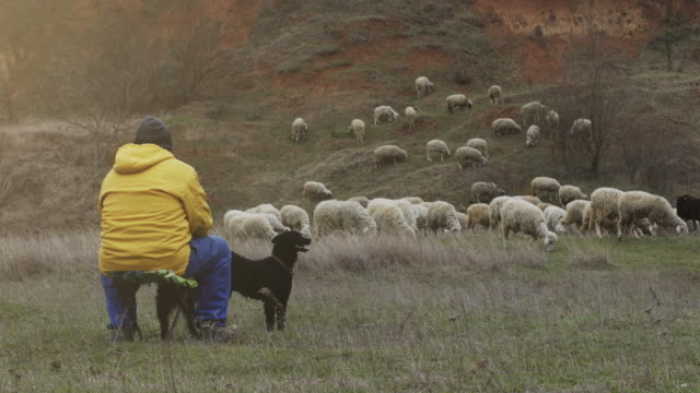 an shepherd is sitting with the dog on the hill and keep the sheep stock video - sheepdog stock videos & royalty-free footage