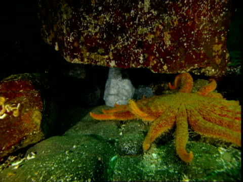 An sunflower sea star slowly inches across rocks where a large wolf eel hides.