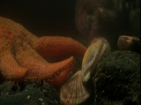 An sunflower sea star startles scallops.