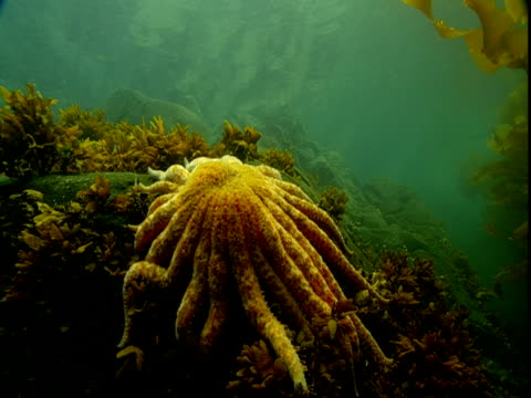 An sunflower seastar clings to a rock amid kelp on the seabed of Telegraph Cove, Canada.