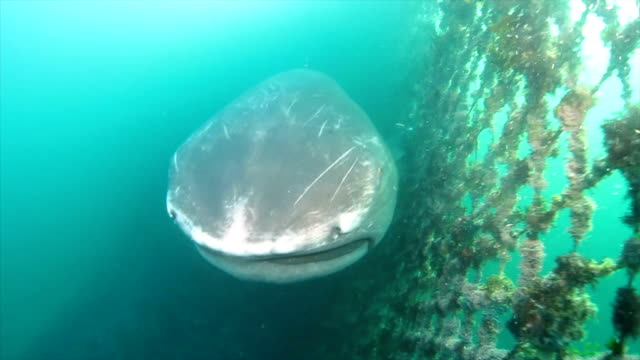 An ultrarare megamouth shark wandered into a fishing net off the coast here early on May 22 prompting celebrity expert Sakanakun to jump on the case...