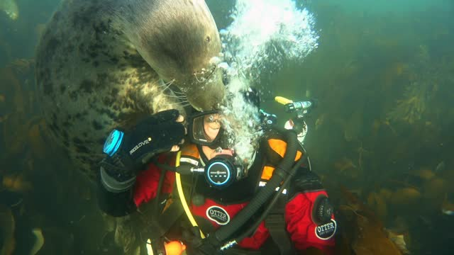 an underwater cameraman has captured the tender moment a seal held his hand off the coast of northumberland, england. ben burville, an experienced... - undersea stock videos & royalty-free footage