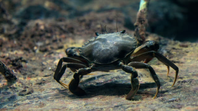 An underwater shot of crab walking along the mangroves, 4K.