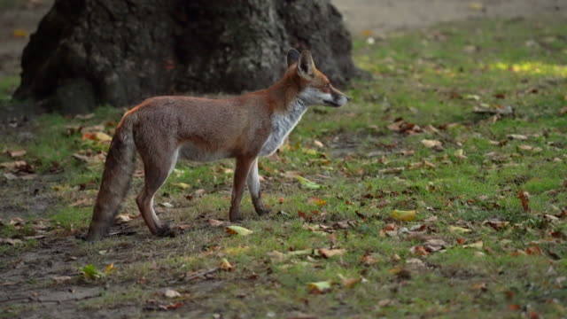 an urban fox on the prowl in a public park - mammal stock videos & royalty-free footage