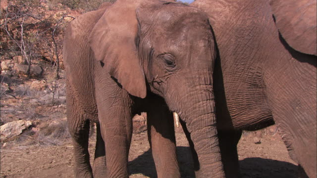 an young african elephant leans against its mother. - tiergruppe stock-videos und b-roll-filmmaterial