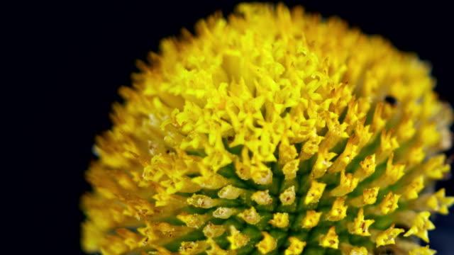 anacyclus valentinusm 開花時間の経過 - 花粉点の映像素材/bロール