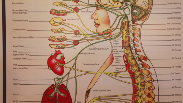cu td anatomy of human being and relation of spine to autonomic nervous system / toronto, ontario, canada - human spine stock videos & royalty-free footage
