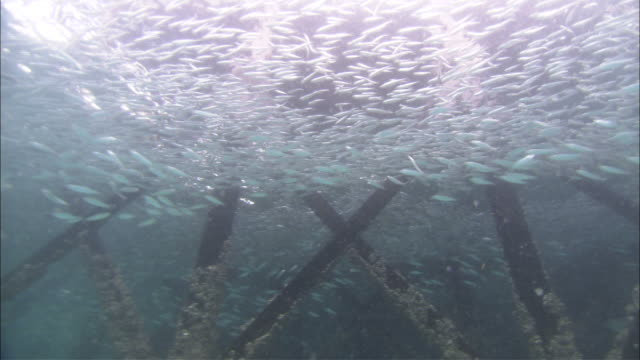anchovies swimming around jetty, kapalai, sipadan, borneo - anchovy stock videos & royalty-free footage