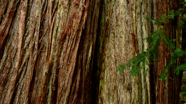 ancient cedar tree in a temperate rainforest - lush stock videos & royalty-free footage