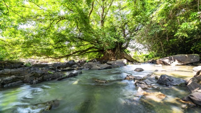 ancient ficus bengalensis grows by stream in a tropical forest. - tropical tree stock videos & royalty-free footage