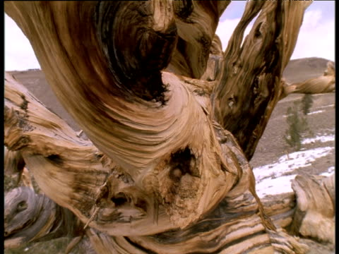 stockvideo's en b-roll-footage met ancient gnarled bristle cone pine stump. - boomstronk
