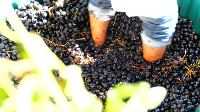 ancient method of wine production by pressure kicks grapes - squash sport stock videos & royalty-free footage