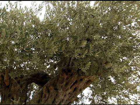 vídeos y material grabado en eventos de stock de antigua olivar - raíz