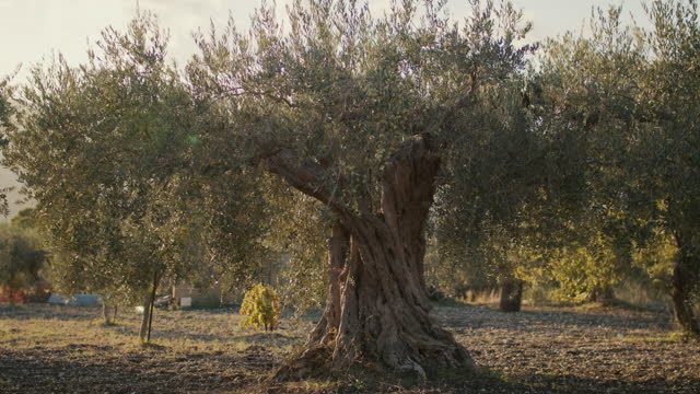 ancient olive tree on farm in wind - eternity stock videos & royalty-free footage