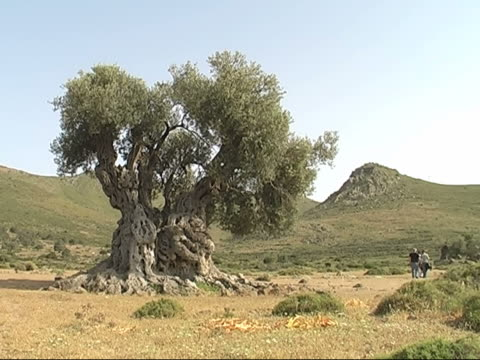 ancient olive tree - grove stock videos & royalty-free footage